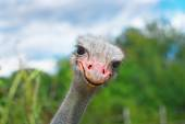 Ostrich head closeup — Stock Photo