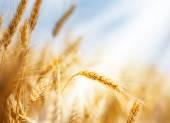 Wheat under sun — Stock Photo