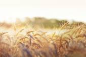 Wheat in early sunlight — Stock Photo