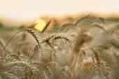 Wheat and sun — Stock Photo