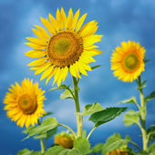 Sunflowers in field. — Stock Photo