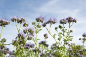 Lila foliage with bees against blue sky — Stock Photo