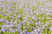 Field of purple flowers and green foliage — Stock Photo