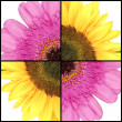 Square collage of Sunflower and Gerbera — Stock Photo #68854209