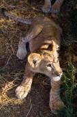 Wild cat — Stock Photo