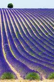 Lavender in Provence — Stock Photo