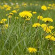 Spring meadow of yellow dandelions — Stock Photo #73636971
