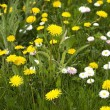 Spring meadow of yellow dandelions — Stock Photo #73637009