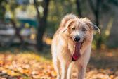 Irish Wolfhound standing on the grass — Stock Photo