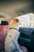 Irish Wolfhound traveling in the car — Stock Photo