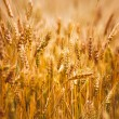 Yellow grain ready for harvest growing in a farm field — Stock Photo #64695653
