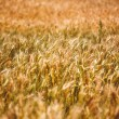 Yellow grain ready for harvest growing in a farm field — Stock Photo #64695745