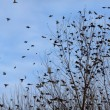 Fall - flock of birds migrating south — Stock Photo #64696605