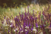 Beautiful detail of scented lavender flowers field in perfect Radiant Orchid color of the 2014. Image for agriculture, SPA, medical industries and diverse advertising materials. — Stok fotoğraf