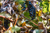 Grapes and colorful autumn leaves   — Stock Photo