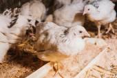 Jedzenie kur w pobliżu coop — Zdjęcie stockowe