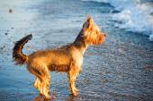Dog on the shore of the sea plays in the water. — Stock Photo