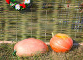 Two big pumpkins lie at a wattled fence. — Stock Photo