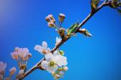 Branch of blossoming cherry against the blue sky. — Stock Photo