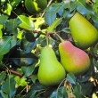 Three large ripe pears hanging on the tree. — Stock Photo #72344385
