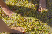 Stepping the grape harvest — Stock Photo