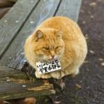 Japanese funny cat — Stock Photo #59220721