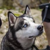 Husky hond portret — Stockfoto