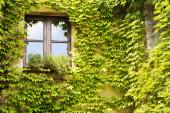Green leaves vine plant on a wood window — Foto Stock