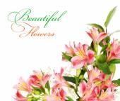 Flores de alstroemeria — Foto de Stock