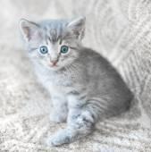 Chaton gris — Photo