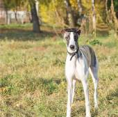Chien whippet — Photo