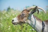Ciemny koza — Zdjęcie stockowe