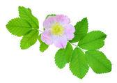 Różowy dzikiej róży — Zdjęcie stockowe