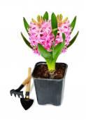Różowy hiacynt — Zdjęcie stockowe