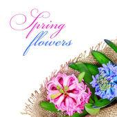 Hiacynty różowy i niebieski — Zdjęcie stockowe