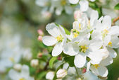 Blooming apple tree — Stock Photo