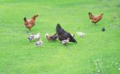 Poultry yard — Stock Photo