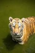 Tiger in the river — Fotografia Stock