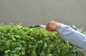 Gardener cutting hedge with grass shears — Foto de Stock