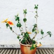 Orange mallow growing in clay pot — Stock Photo #56084189