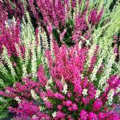 Colorful blooming heather — Stock Photo