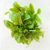 Fresh green sorrel leaves — Stock Photo