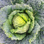 Close-up of Savoy cabbage — Stock Photo