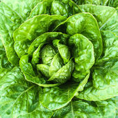 Close-up of green butterhead lettuce — Stock Photo