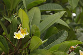 Frangipani in the garden — Stock Photo