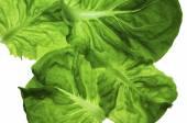 Butter lettuce — Stock Photo