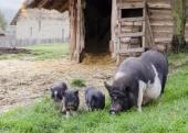 Suini in fattoria — Foto Stock