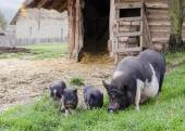 Pigs on farm — Stock Photo