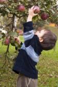 Child picking apple — Stock Photo