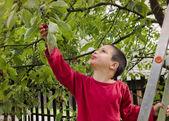 Child picking and eating cherries — Stock Photo
